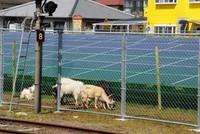 都城太陽光発電所の敷地でせっせと雑草をはむヤギ